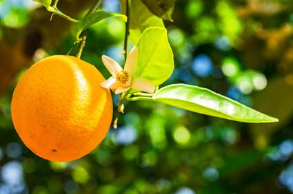 cosmétiques fleur oranger